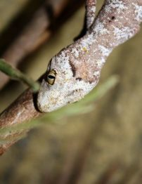 northern-spiny-tailed-gecko4-500x650