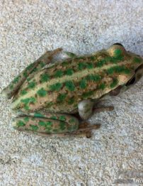 western-green-tree-frog-500x650