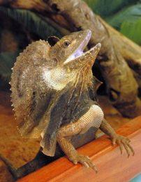 frilled-lizard-500x650