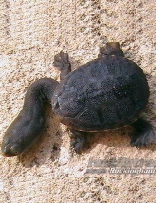 Oblong Turtle Reptile And Grow