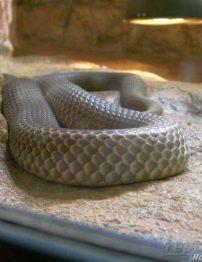 mulga-snake-500x650