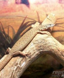 stripe-tailed-pygmy-monitor-500x612