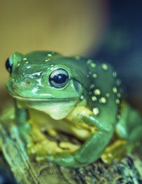 magnificent-green-tree-frog