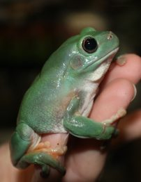 northern-green-tree-frog