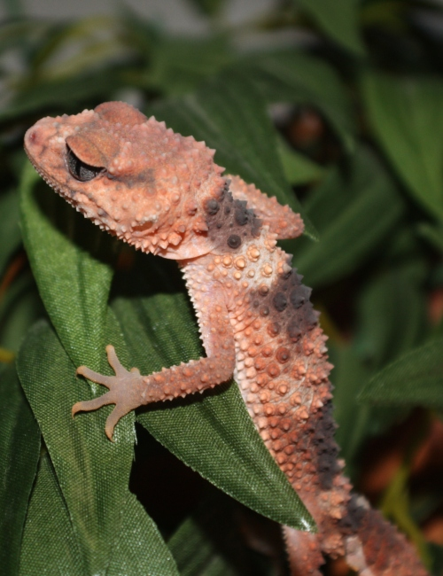 BANDED KNOB-TAILED GECKO | Reptile and Grow